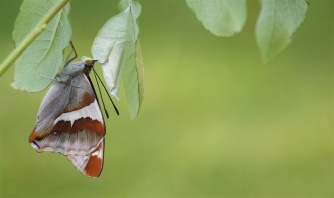 Purple emperor after hatching
