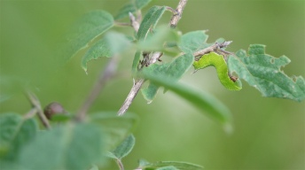 Caterpillar of the Broad-bordered bee hawk-moth