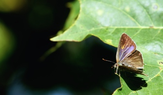 Purple hairstreak (Neozephyrus quercus), female