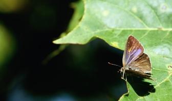 Purple hairstreak (Neozephyrus quercus), female
