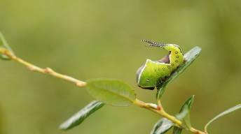 Caterpillar of the Puss moth