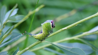Caterpillar of the Puss moth