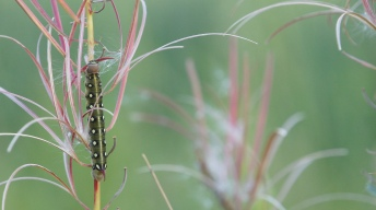 Caterpillar of the Bedstraw hawk-moth
