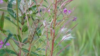 Caterpillar of the Bedstraw hawk-moth