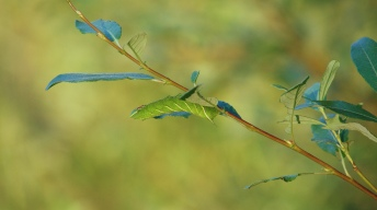 Caterpillar of the Eyed hawk-moth