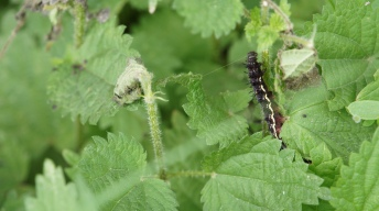 Caterpillar of the Red admiral