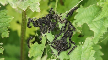 Young caterpillars of the Small tortoiseshell