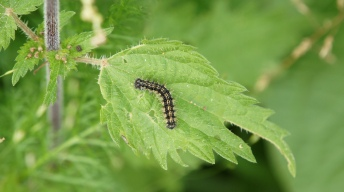 Caterpillar of the Small tortoiseshell