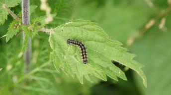 Caterpillar of the Small tortoiseshell