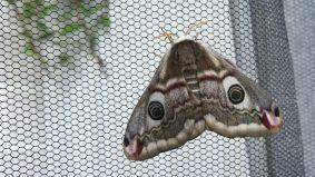 Small Emperor Moth