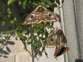Copula of the Small Emperor Moth