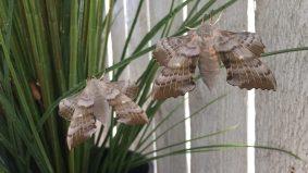Poplar Hawk-moth