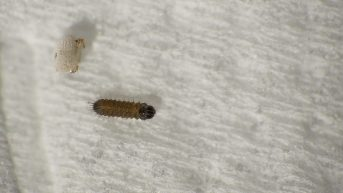 Purple Hairstreak caterpillar right after hatching