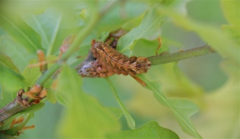 Caterpillar of the Purple Hairstreak