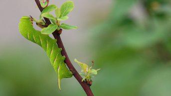 Caterpillar of the Privet Hawk-moth