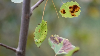 Caterpillar of the Poplar Hawk-moth